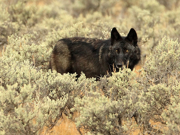Wyoming Female Black Wolf