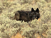 Wyoming Female Black Wolf