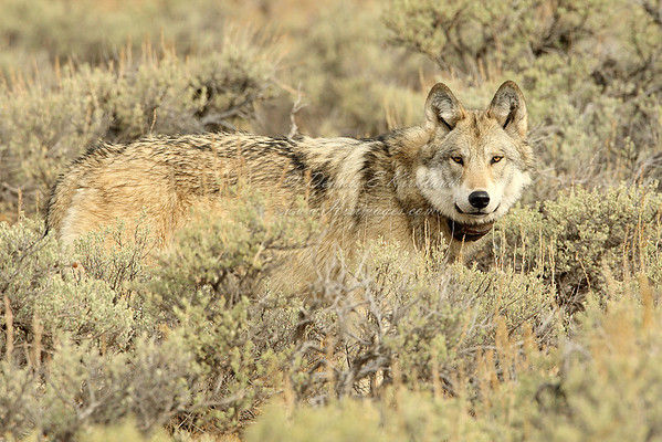 Wyoming Male Gray Wolf