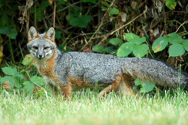 Male Gray Fox