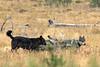 Wyoming Wolf Pack