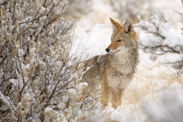 Coyote Pup In Snow