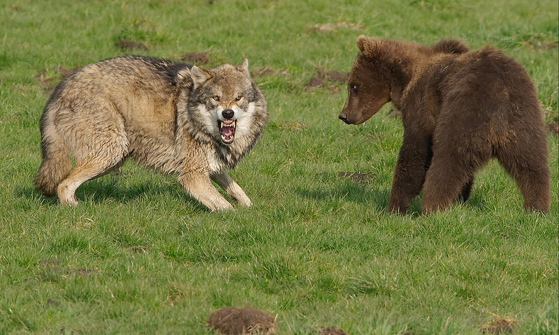 Ever since the bear cubs where big enough, the barrier between the wolf and the bears has been taken down....