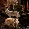 This photo  merited in The Professional Photographers of California annual competition.<br /> <br /> Wolves love water.  Taken on the New Jersey side of the Delaware River in Warren County near the town of Columbia. It was early morning and the air was crisp.  People ask how I got the wolves to line up. Patience, luck and as they say being in the right place at the right time.  I knew at that moment I had one of my best shots of the morning. Click click click