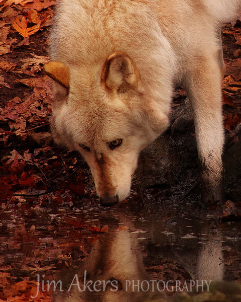 """Self Reflection""  Shot in Northwestern New Jersey near the Delaware River close to a town called Columbia.  Wolves love water and like to play in it whenever possible."