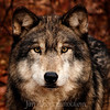 Timberwolf in New Jersey close to the Deleware River in Warren County. This Timberwolf was originally from South Dakota.  It's name is Teako. In real life the colors are outstanding on this Timberwolf.
