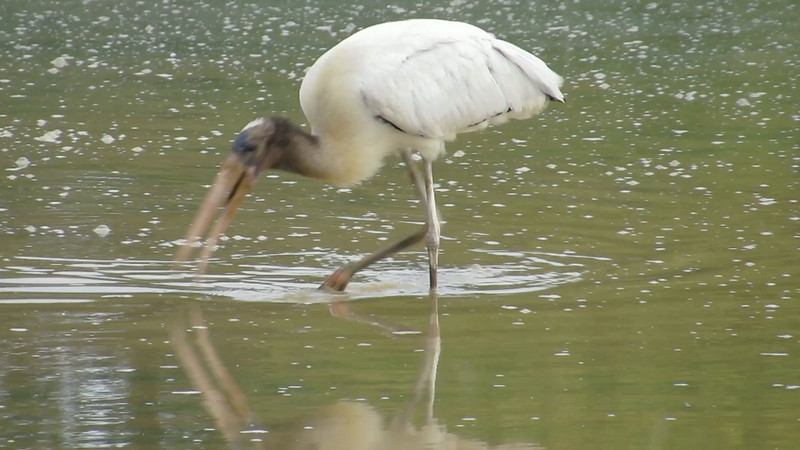 Wood Stork<br /> Clarke Co., VA 8-31-14
