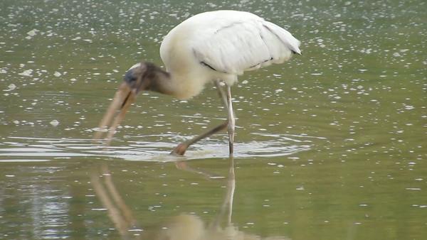 Wood Stork, Clarke County, VA