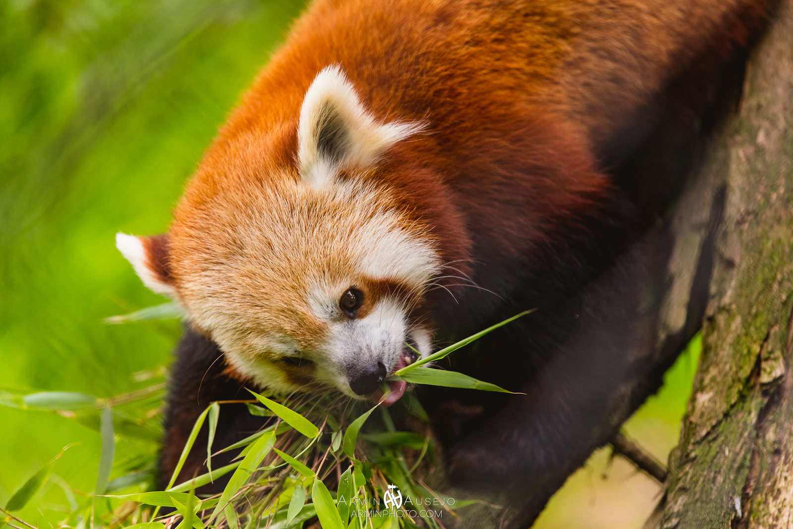 Carson the Red Panda with the Nikkor 300mm f/4E PF ED VR