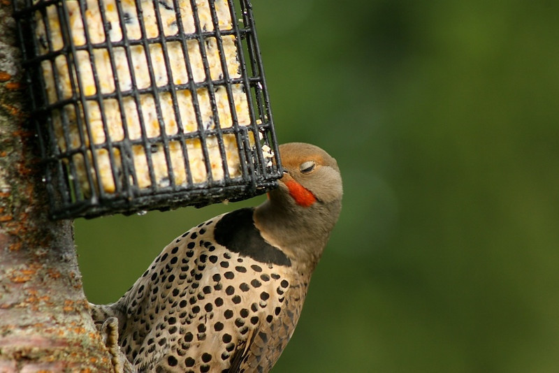 Red Shafted Flicker, male.