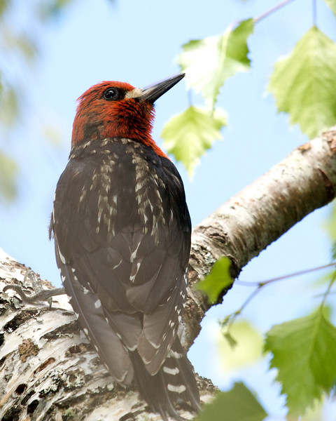 Red Breasted Sapsucker, male