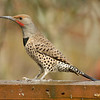 Red Shafted( Common) Flicker