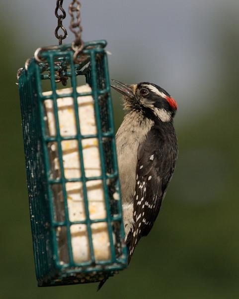 Hairy woodpecker, male.