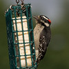 Hairy woodpecker, male.