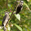 Hairy Woodpecker female and male juvenile.