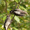 Female Hairy Woodpecker<br /> feeding young male chick