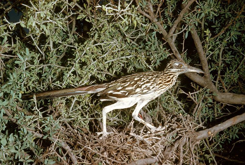 Roadrunner (<i>Geococcyx californianus</i>), Big Bend National Park, Texas, 1958