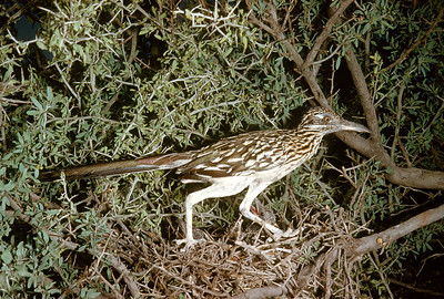Roadrunner (Geococcyx californianus), Big Bend National Park, Texas, 1958