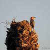 Red-bellied woodpecker at Viera Wetlands