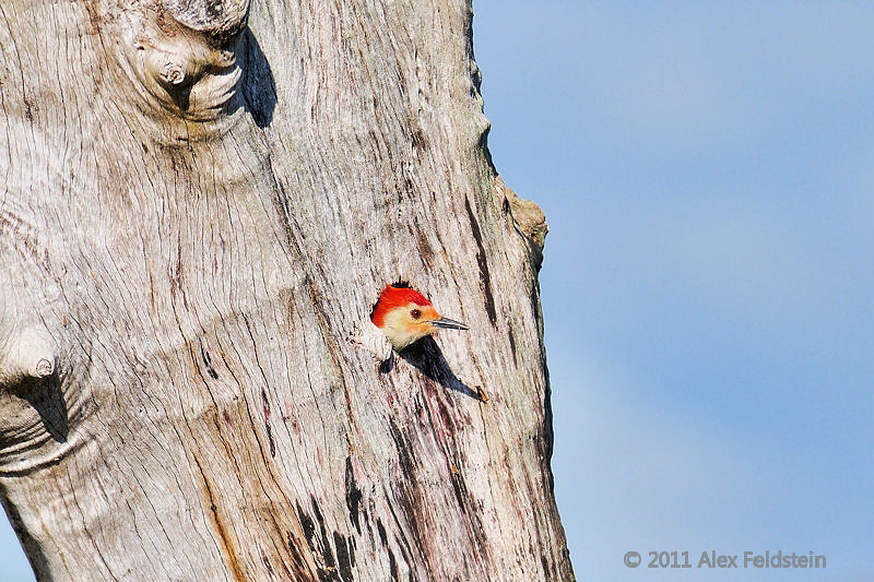 Red-bellied woodpecker at Green Cay Wetlands