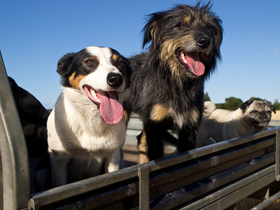 Farm dogs and pet pug. This image can be purchased from Getty Images: http://tinyurl.com/85vxknr