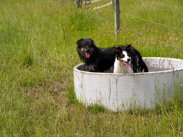 Hund and Meg cooling off after rounding up cattle