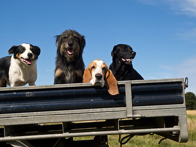 New Zealand farm dogs and pet dogs on a utility vehicle.
