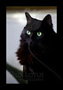 Kitty pictured :: Tabitha<br /> <br /> 112311_001282 ICC adobe 4in x 6in pic