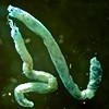 Eclysippe trilobata