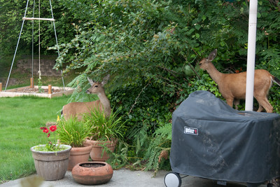this picture was taken July 22 and the hop plant in the background was less than 2 ft off the ground., Two deer working on some crabapples. Also