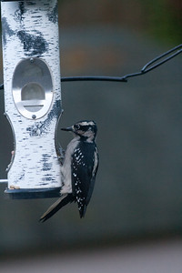 Sept. 29 - first time seeing a downy woodpecker at the feeder.