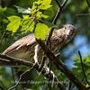 Black Crowned Night Heron 19 June 2017-  9899