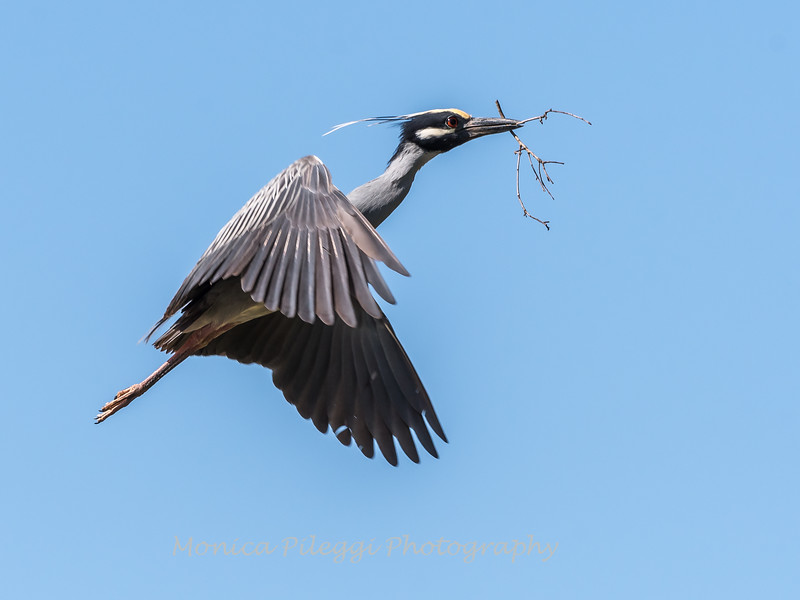 Herons Culler Lake 28 Apr 2018-9645