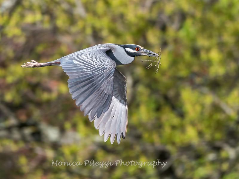 Herons Culler Lake 29 Apr 2018-9933