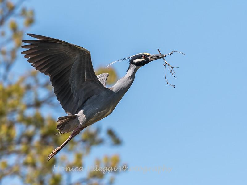 Herons Culler Lake 28 Apr 2018-9643