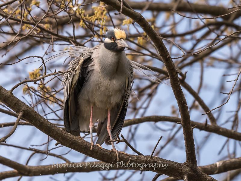 Yellow-Crowned Night Herons 23 Apr 2018-8434