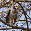 Yellow-Crowned Night Herons 23 Apr 2018-8434