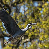 Herons Culler Lake 28 Apr 2018-9638