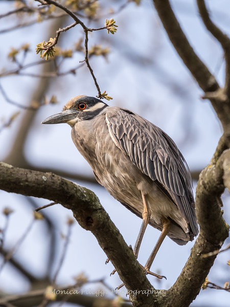 Yellow-Crowned Night Herons 23 Apr 2018-8485
