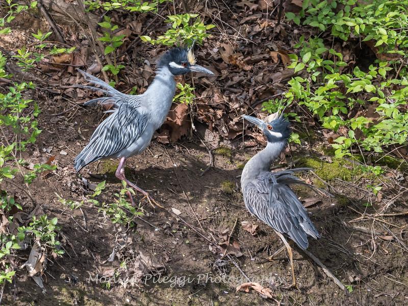 Yellow-Crowned Night Herons 23 Apr 2018-8691