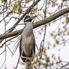 Herons Culler Lake 29 Apr 2018-0032