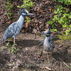 Yellow-Crowned Night Herons 23 Apr 2018-8700