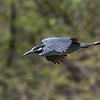 Herons Culler Lake 28 Apr 2018-9820