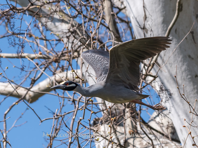 Herons Culler Lake 28 Apr 2018-9725