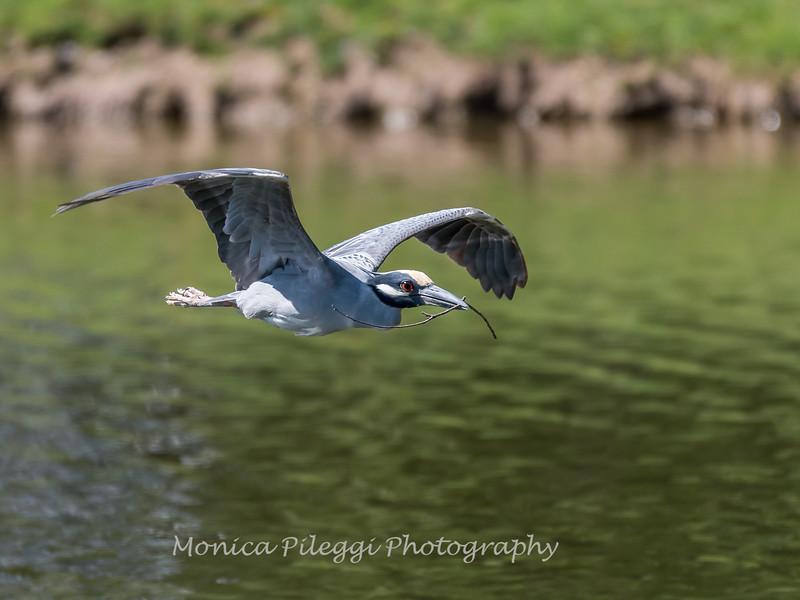Herons Culler Lake 28 Apr 2018-9784