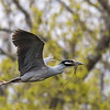 Herons Culler Lake 29 Apr 2018-0083