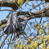 Herons Culler Lake 28 Apr 2018-9768