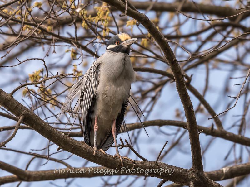 Yellow-Crowned Night Herons 23 Apr 2018-8439