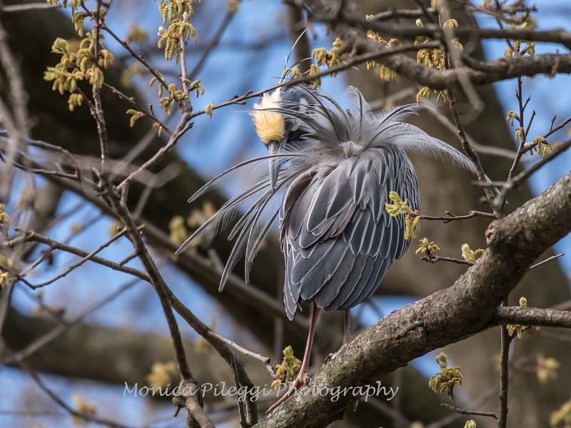 Yellow-Crowned Night Herons 23 Apr 2018-8495