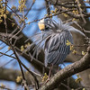 Yellow-Crowned Night Herons 23 Apr 2018-8495